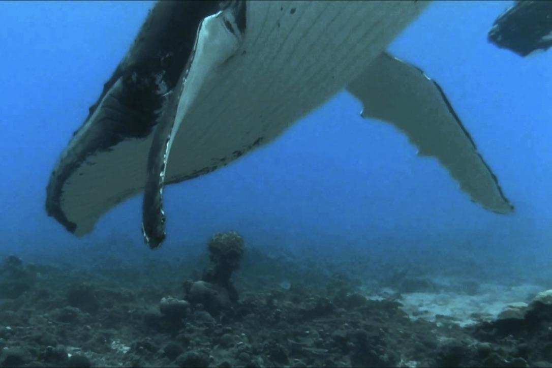 Pukkelhvalen bliver typisk omkring 15 meter lang. Foto: YouTube